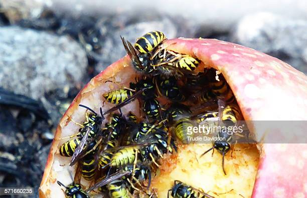 Wasps on an apple