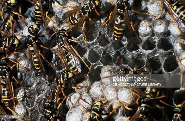 Wasps on honeycomb Hymenoptera