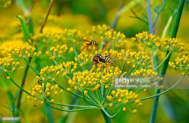 Wasps Pollinating Fennel Flowers