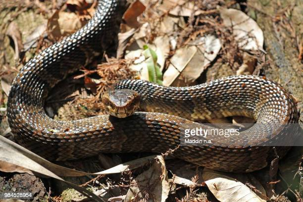 wassermokassinotter cottonmouth(agkistrodon piscivorus) - cottonmouth snake stock pictures, royalty-free photos & images