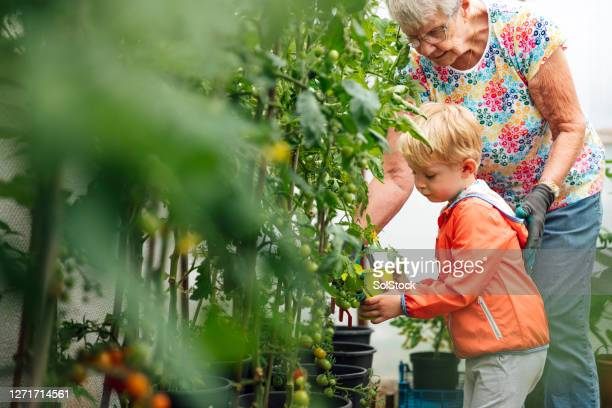 watch me water the tomatoes - lifestyles stock pictures, royalty-free photos & images