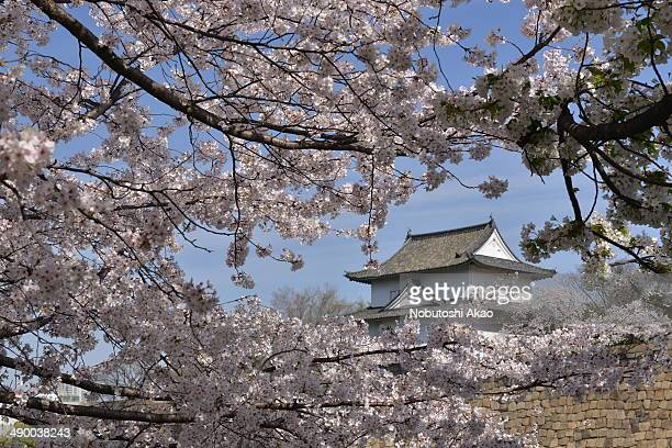 Watch tower of Osaka Castle as seen from between cherry blossoms in full bloom.
