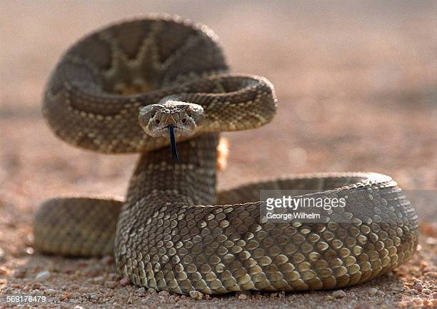 A rattlesnake can release about 130 different toxins during a bite 5/9/2001 – File photo of a Mojave rattlesnake made in the High Desert