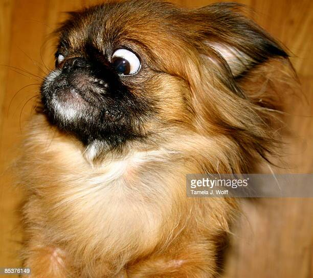 Watchdog Baby Pekingese
