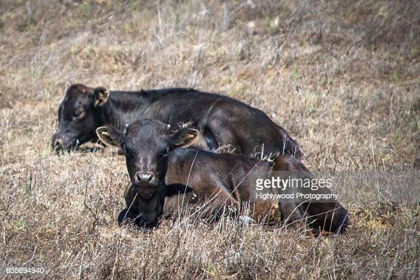 watchful calf - highlywood fotografías e imágenes de stock