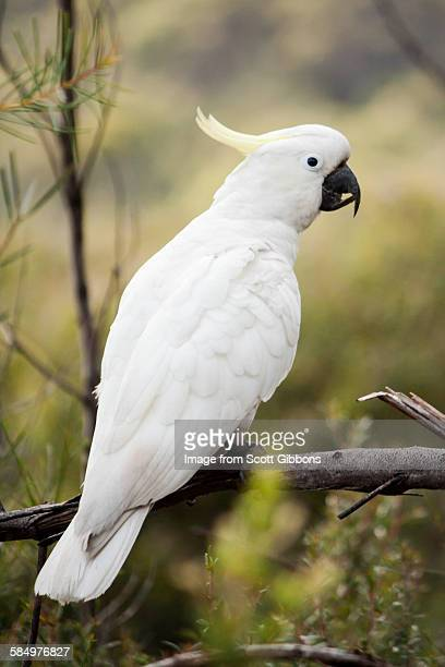 Watchful cockatoo