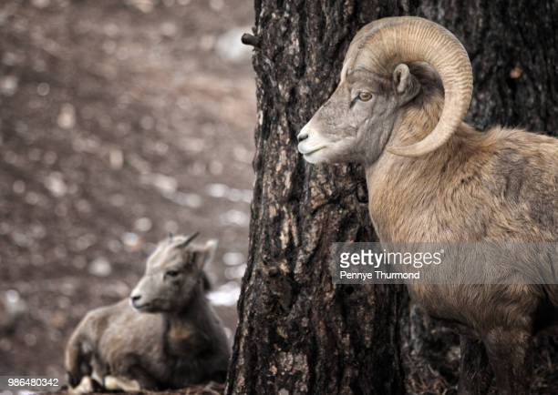 watchful eye - file:bighorn,_grand_canyon.jpg stock pictures, royalty-free photos & images