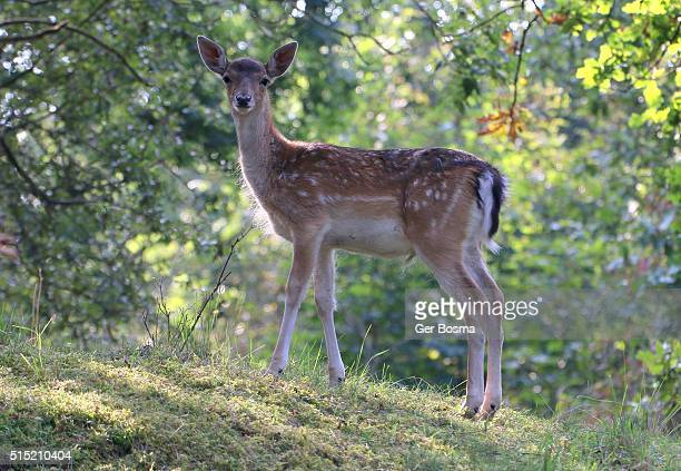 watchful fallow deer eyes - biche photos et images de collection
