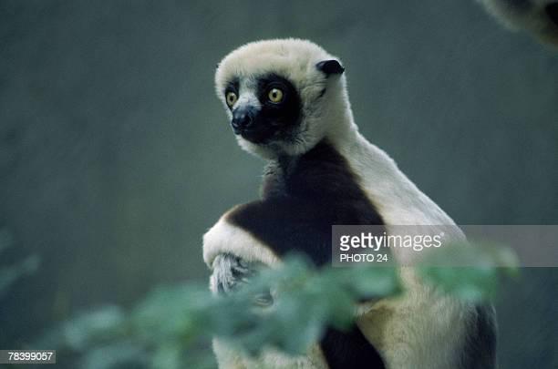 Watchful lemur