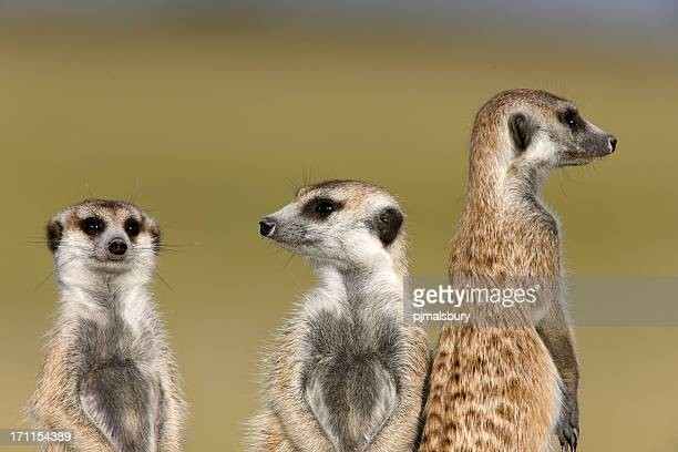 Watchful Meerkats