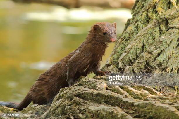 watchful mink - pine marten stock pictures, royalty-free photos & images