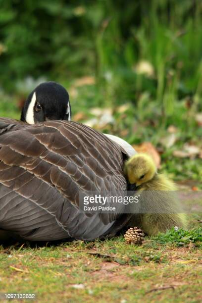 Watchful Mother Goose
