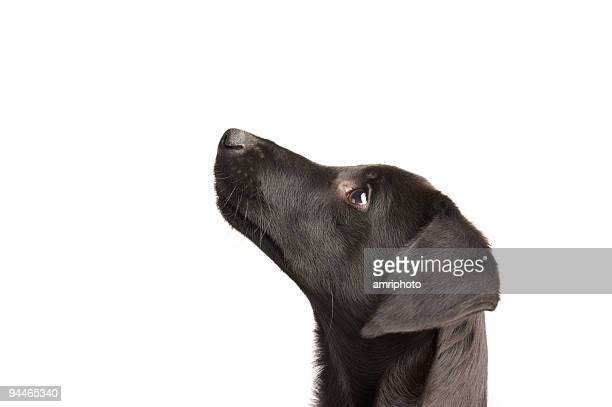 watchful young dog - black labrador stock pictures, royalty-free photos & images