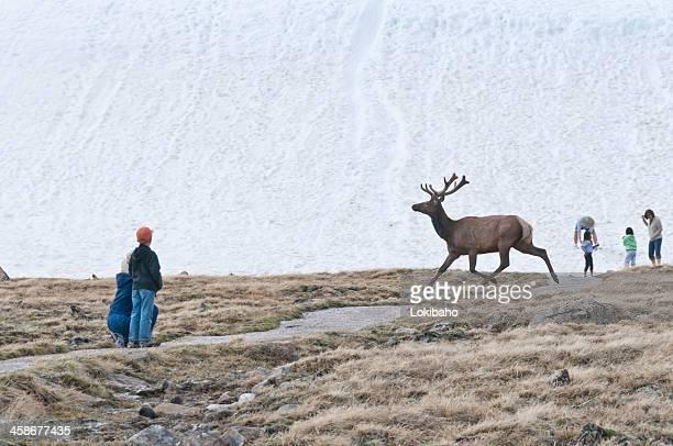 Watching Elk on Trail Ridge Road, Rocky Mountain National Park