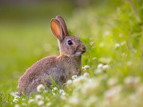 Watching Wild European rabbit 503488234