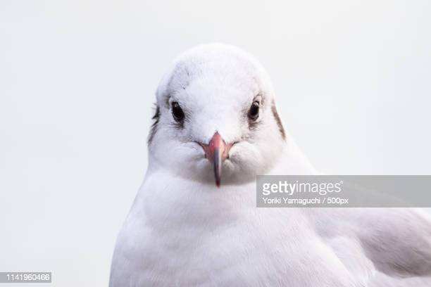 watching you - royal tern stock photos and pictures