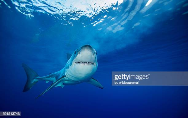 watching you - great white shark stock photos and pictures