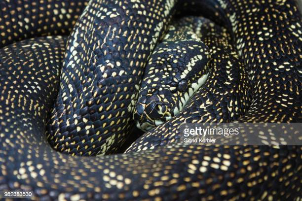 watching you - kingsnake stock photos and pictures