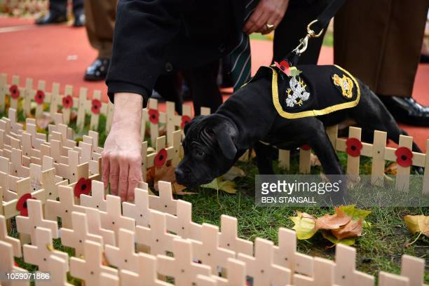 Watchman VI the incoming mascot for the Staffordshire Regiment Association steps into Crosses of Remembrance as one is placed in the Field of...