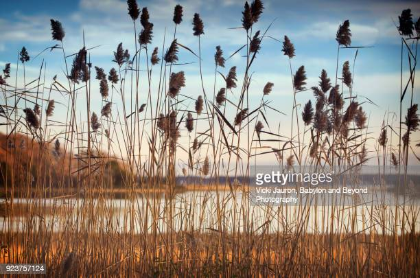 water and sky behind the reeds at sag harbor, long island - sag harbor stock photos and pictures