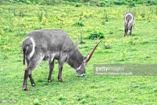 Water Antelope, Kobus ellipsiprymnus