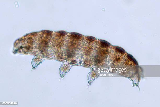 Water Bear, Phylum Tardigrade, microscopic, free swimming, microscope, freshwater, Blue background, outline, transparent, White Light Illumination, pond, can survive tremendous heat and cold, radiation and vacuum, turns into resting form cyst,.