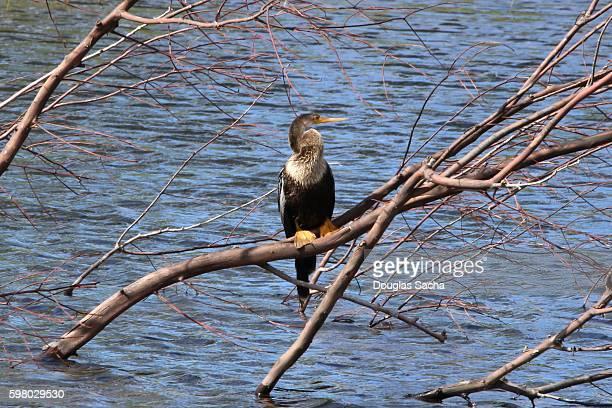 Water bird resting near the water, Darter Bird (Anhinga)