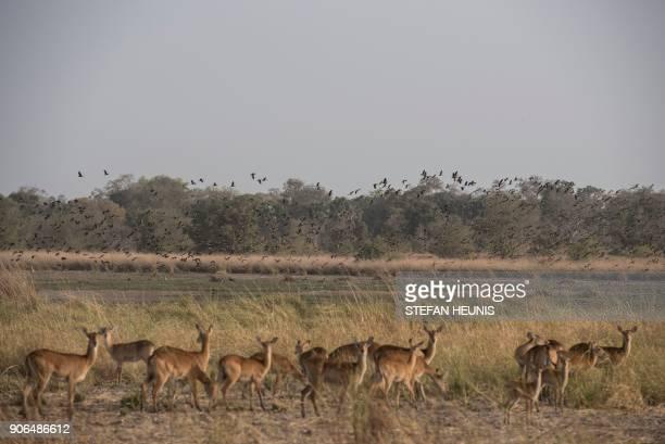 Water birds fly in circle over a marsh as kob antelope feed in the morning sun at Pendjari National Park near Tanguieta on January 11 2018 Pendjari...