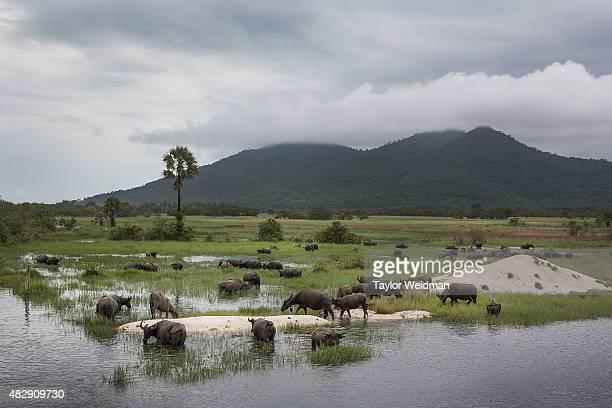 Water buffalo graze in a field inside the planned Dawei SEZ on August 3 2015 in Nabule Myanmar The controversial multibillion dollar Dawei special...