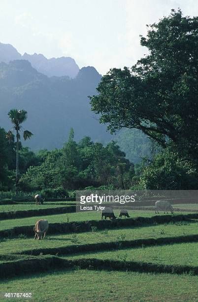 Water buffalo grazing in disused rice paddy fields in Vang Vieng Vang Veing is home to a series of limestone outcrops and massive caves In recent...