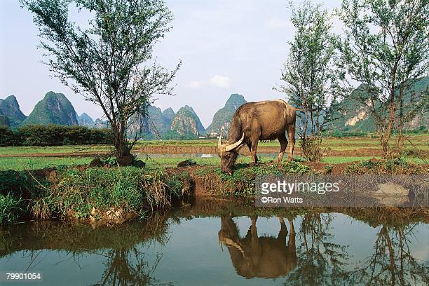 water buffalo grazing near rice field - oxen stock photos and pictures