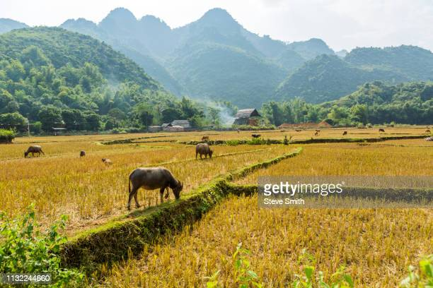 water buffalo grazing on rice paddy in mai chau, vietnam - mai chau stock pictures, royalty-free photos & images