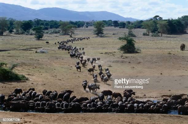Water Buffalo Herd at Water Hole in Kenya