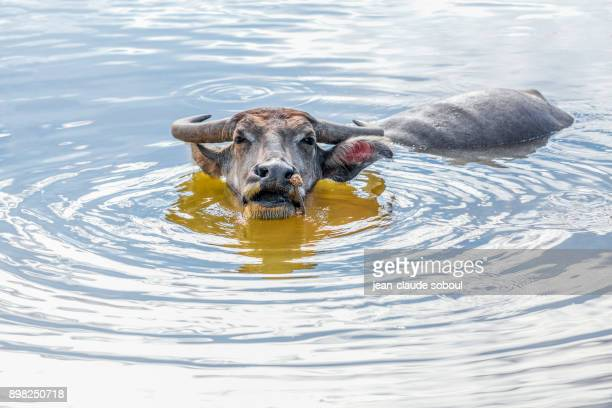 a water buffalo in quang binh province (vietnam) - phong nha kẻ bàng national park stock photos and pictures