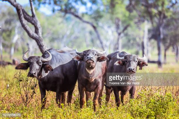 water buffalo  (bubalus bubbles) in the top end - darwin australia stock pictures, royalty-free photos & images