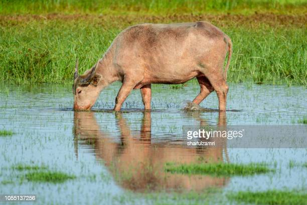Water buffalo in wetland at Thale Noi, Phatthalung - a province in southern Thailand.