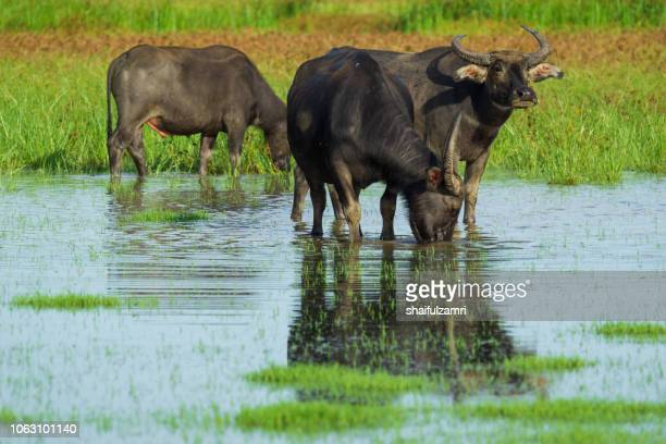 Water buffalo masses in wetland at Thale Noi, Phatthalung - a province in southern Thailand.