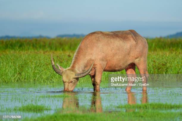 water buffalo masses in wetland at thale noi, phatthalung - a province in southern thailand. - shaifulzamri eyeem stock pictures, royalty-free photos & images