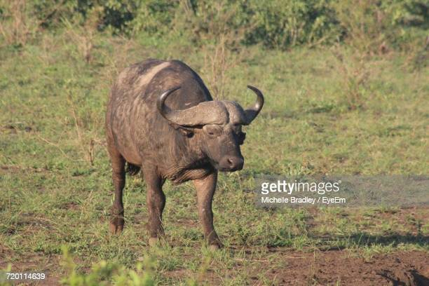 Water Buffalo On Grass