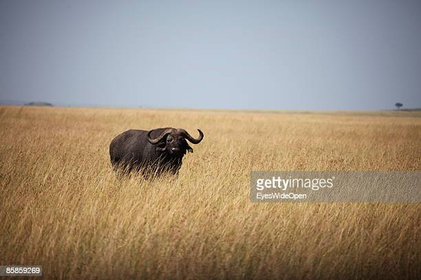 A water buffalo on March 20 2009 in Masai Mara National Park Nairobi Kenya Named of the local ethnic group massai its a nature reseve north of the...