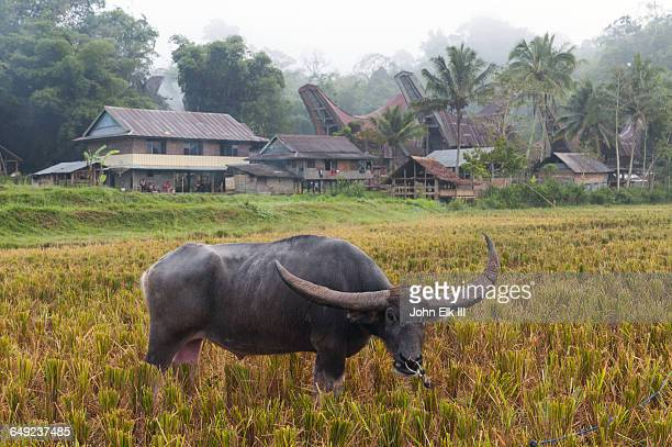 water buffalo - rantepao stock photos and pictures