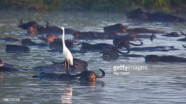 water buffalo swimming with an egret resting on one of them. - alex saberi foto e immagini stock
