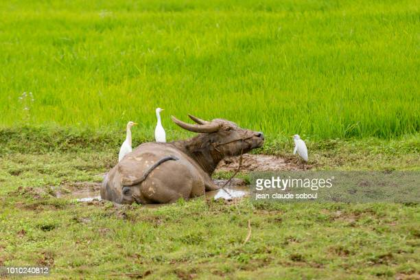 A Water Buffalo takes a mudbathing, in Hue province (Vietnam)
