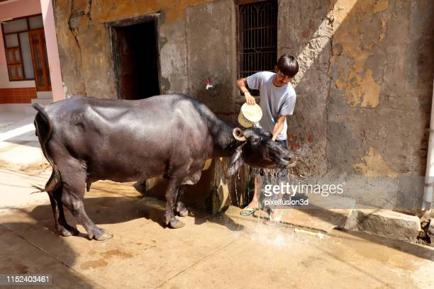 water buffalo taking a bath in street - salwar kameez stock pictures, royalty-free photos & images