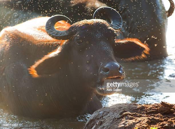 a water buffalo wallows in a mud bath. - alex saberi stockfoto's en -beelden