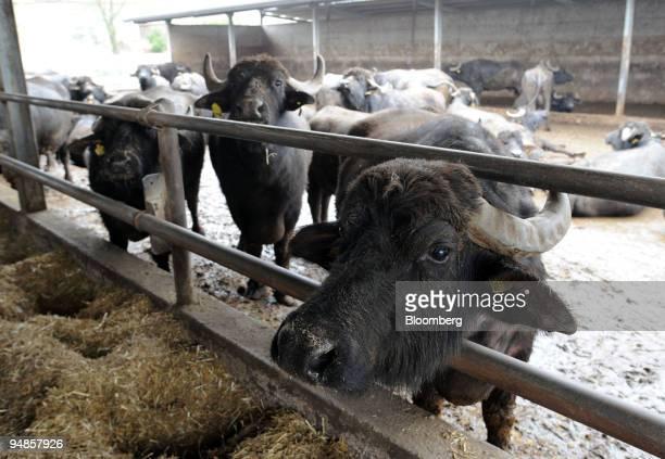 Water buffalo whose milk is used for making mozzarella di bufala or buffalo mozzarella graze at the Baronia factory near Caserta north of Naples...