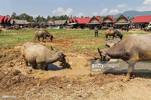 Water buffaloes at the Bolu livestock market Rantepao Toraja Land South Sulawesi Indonesia