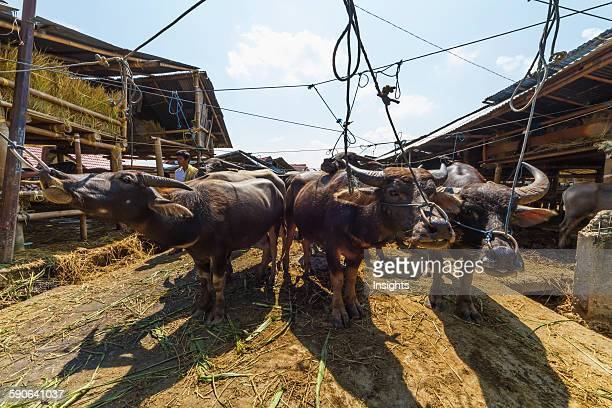 Water buffaloes at the Bolu livestock market Rantepao Toraja Land South Sulawesi Indonesia