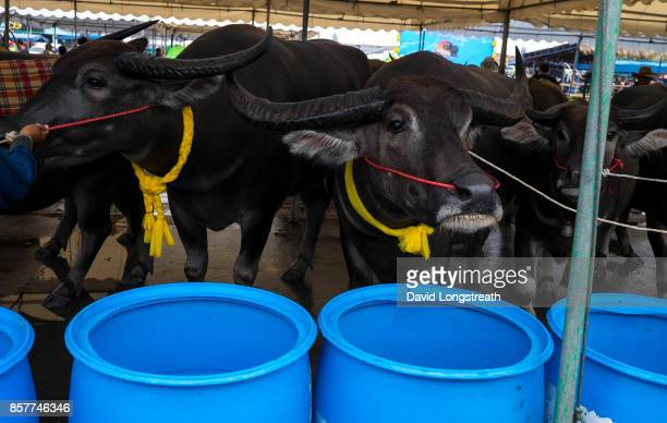 Water Buffaloes gather in a pen at a festival for Water Buffalo racing The annual event is celebrated marking the end of Buddhist Lent