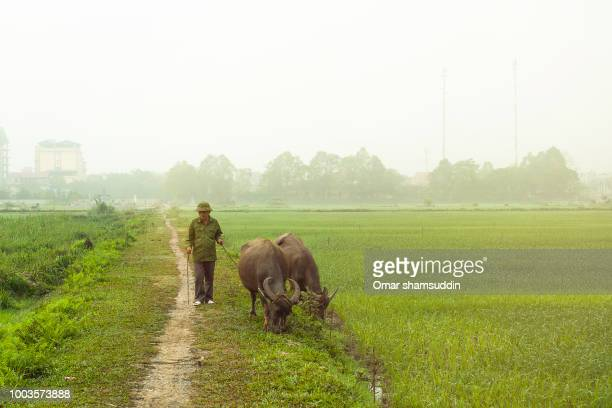 water buffaloes grazing with the shepherd waiting - omar shamsuddin stock pictures, royalty-free photos & images